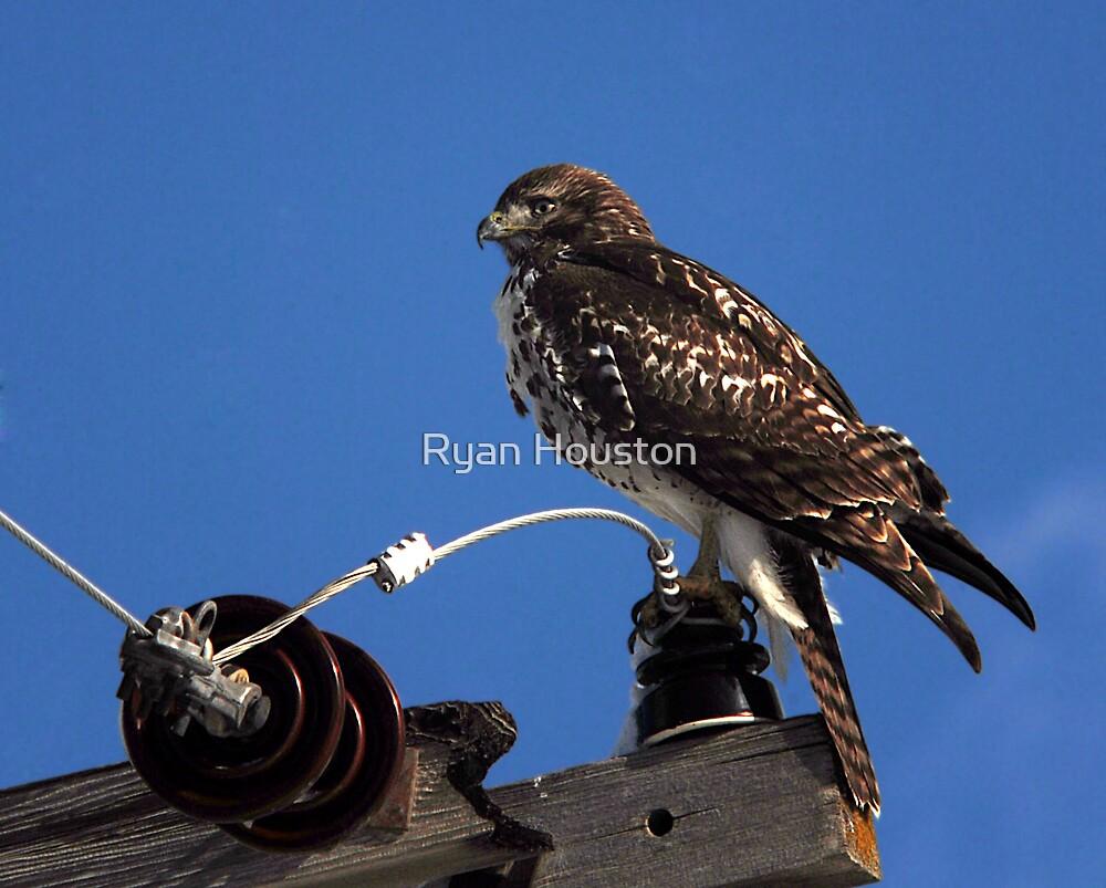 Red-Tailed Hawk - Blue Skies by Ryan Houston