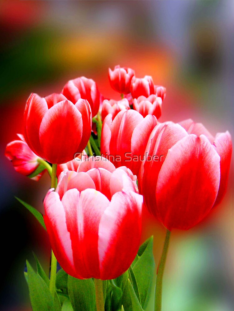 Tulip Time is Coming by Christina Sauber