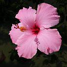 Bahamian Hibiscus by Rosemary Sobiera