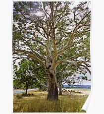 eucalypt Poster