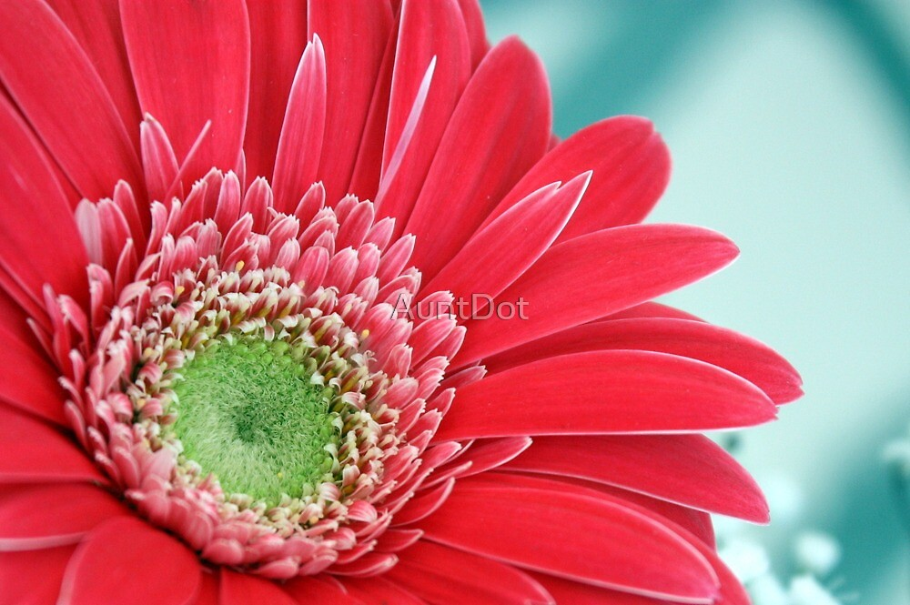 Gerbera Daisy by AuntDot