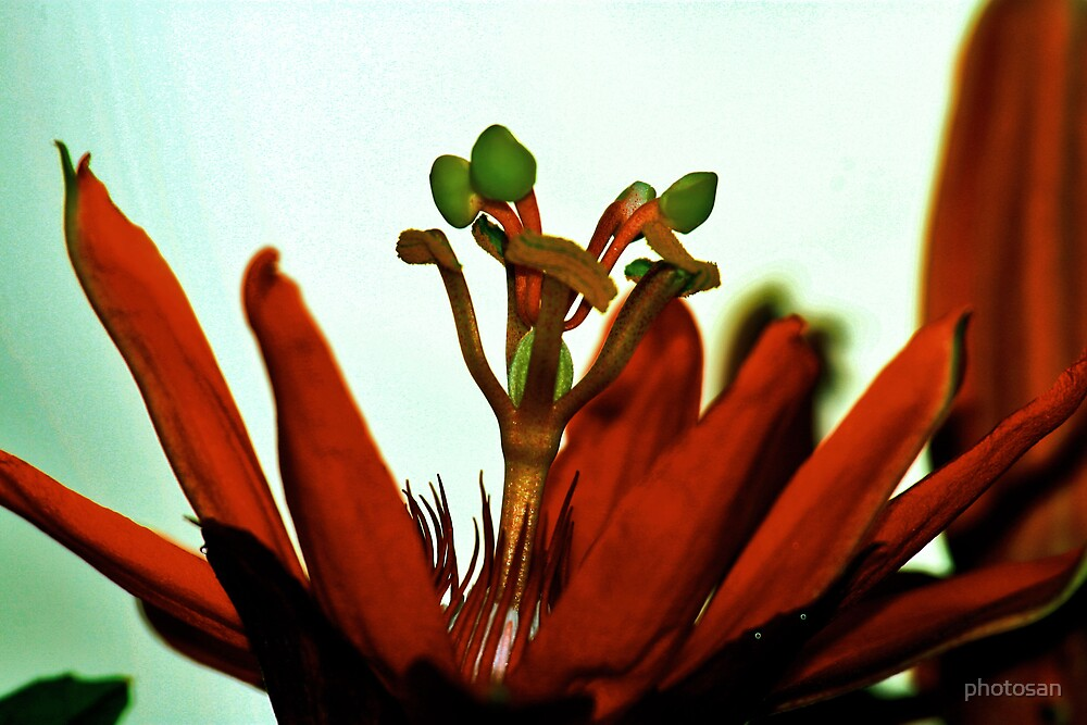 closer red passion flower by photosan