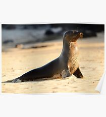Wet sea lion Poster