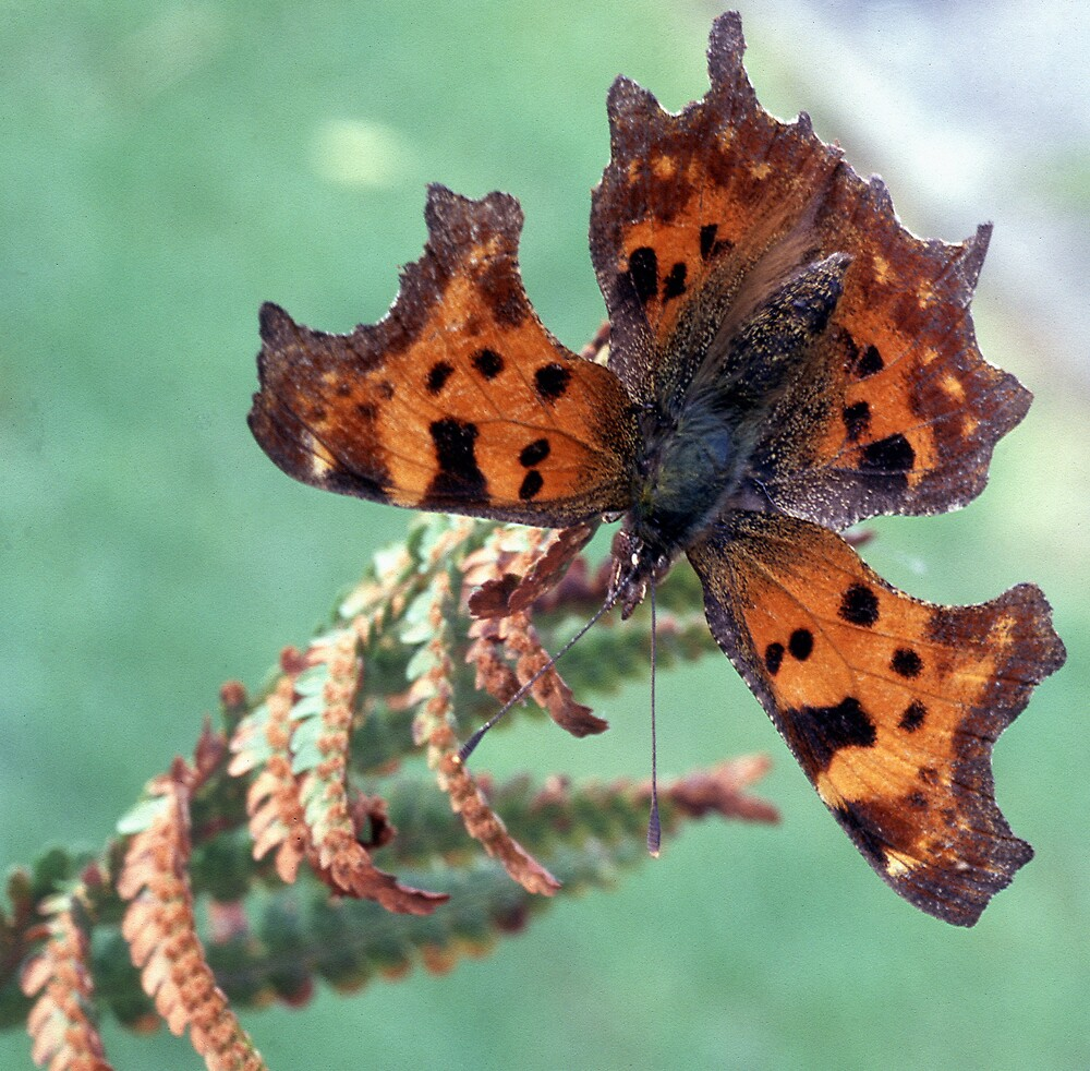 Comma 2 by kitlew