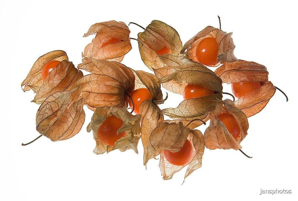 Physalis by jansphotos