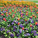 Tulips On Display (2) by George Cousins