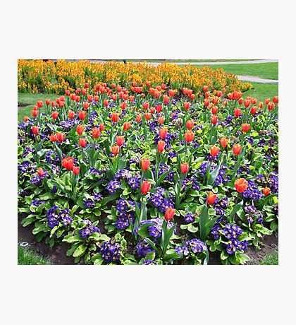 Tulips On Display (2) Photographic Print