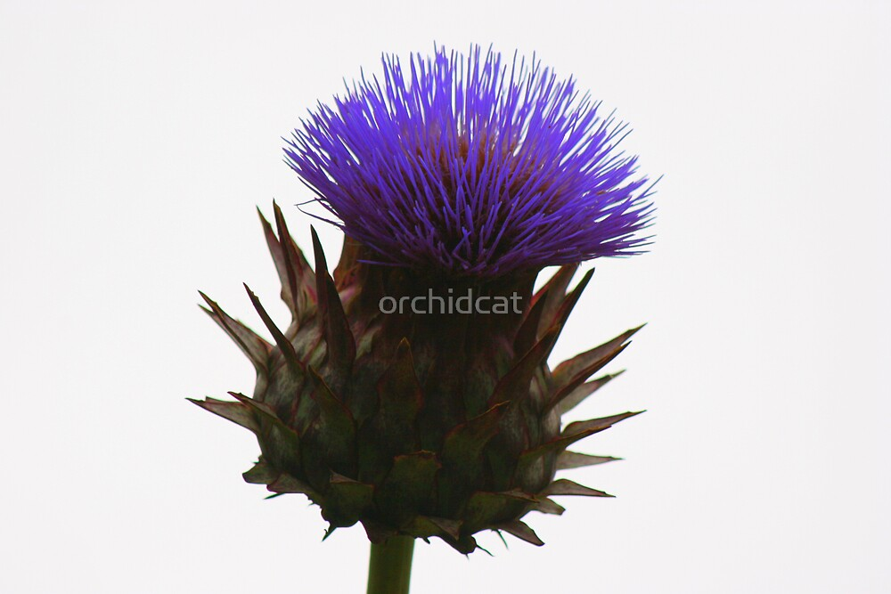 Thistle by orchidcat