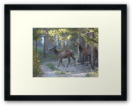 Elk Crossing by lindasdreams