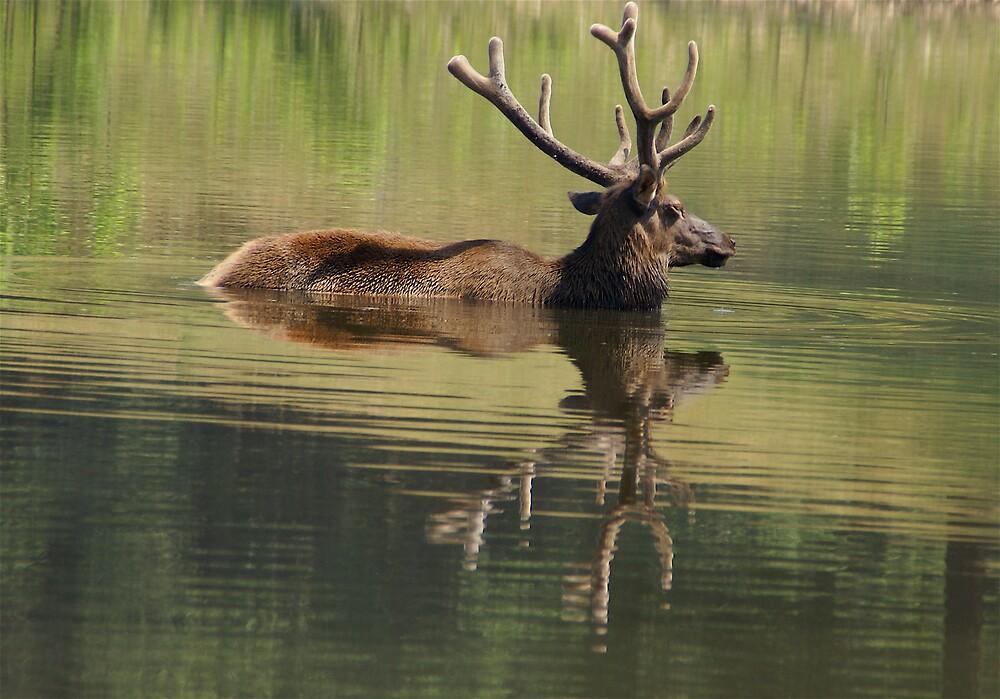 Elk in the Mirror by Jim Caldwell