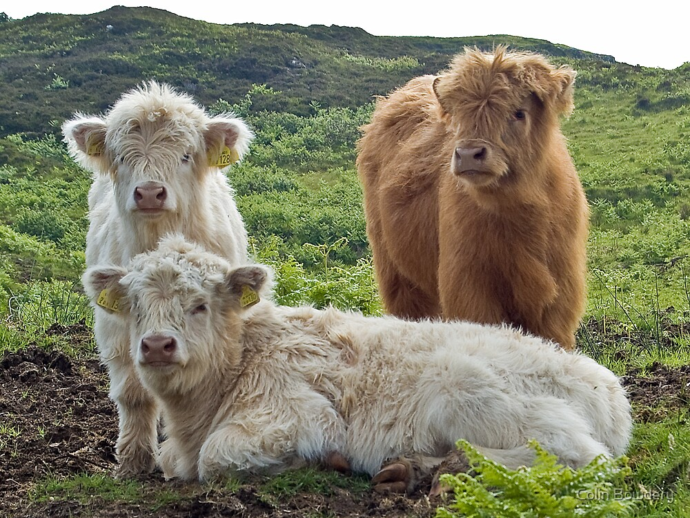 Highland Calves by Colin Bowdery