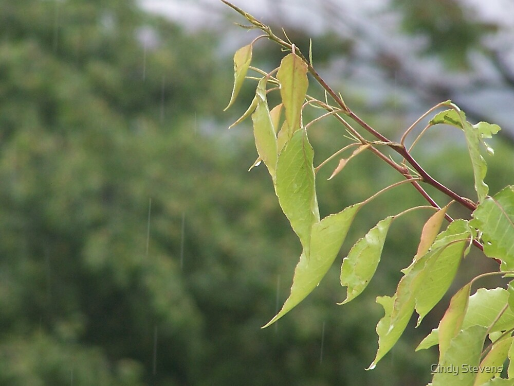 Rain on the leaves (color) by Cindy Stevens