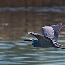 White faced Heron 00134 by kevin chippindall