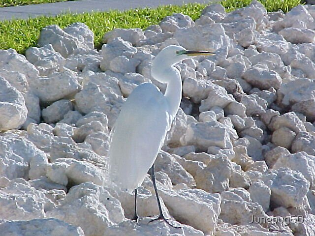 A Great White Egret by Junebug60