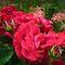 *Frame full of Red Roses - Gorgeous Flower Cards*