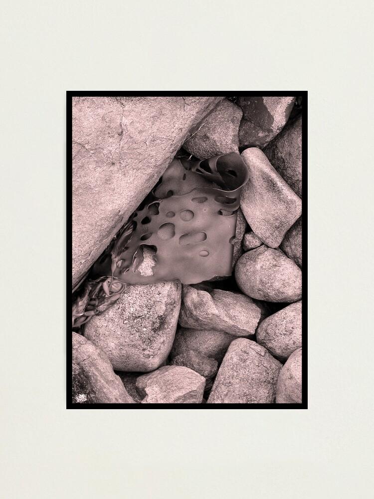 Alternate view of Rock Kelp Photographic Print