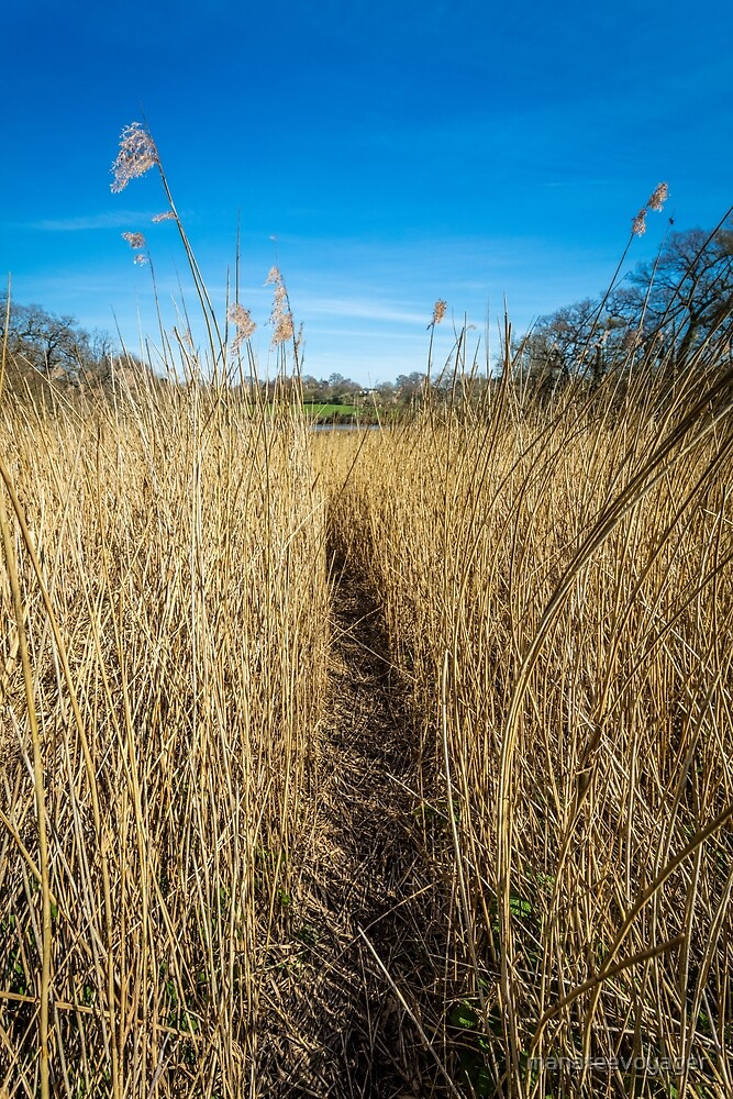 Pathway Through The Reeds by manateevoyager