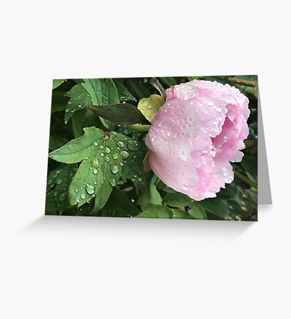 Peony after the Rain 3 Greeting Card