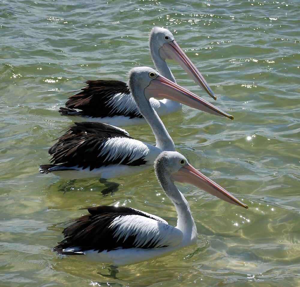 Three pelicans by Carol  Buchanan