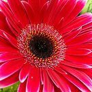 Gerbera Daisy by Lee d'Entremont