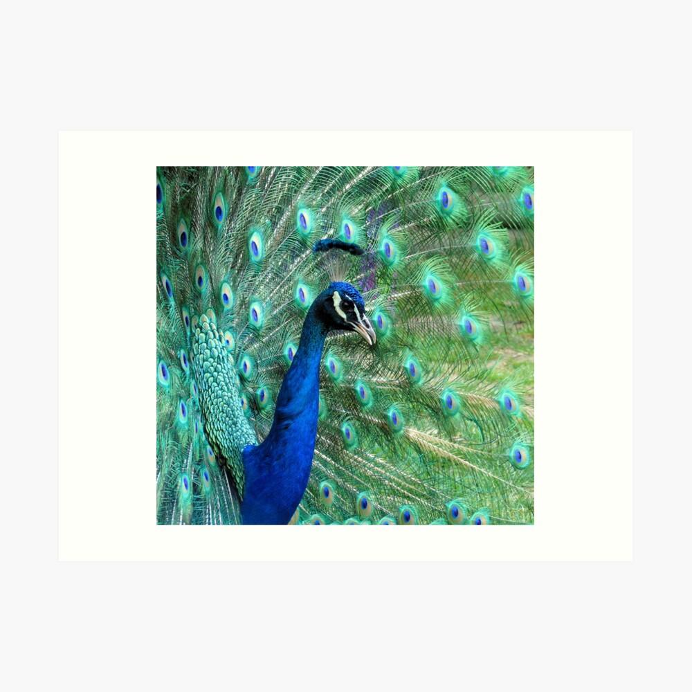 Peacock in bloom Art Print