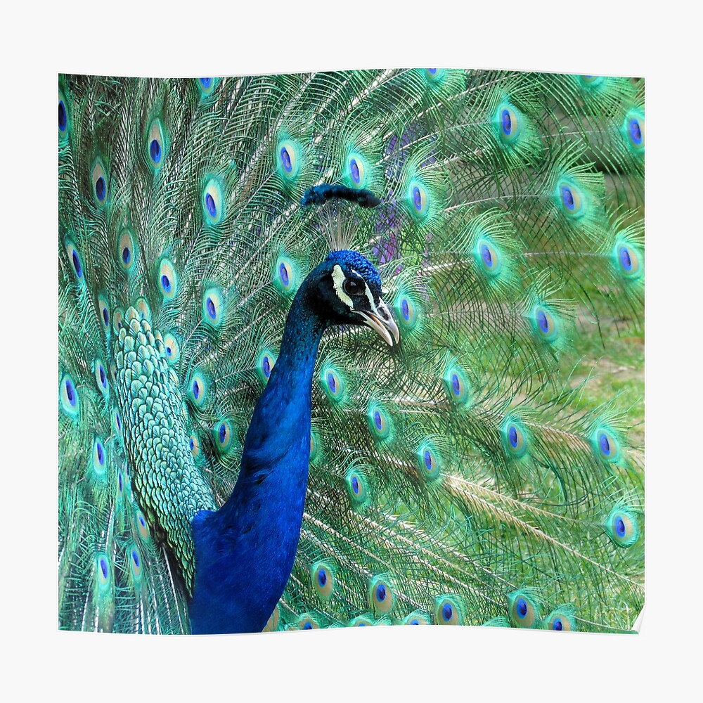 Peacock in bloom Poster