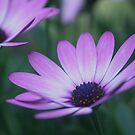 pink daisies by picketty