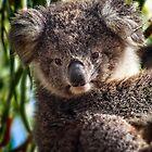 Koala on Raymond Island by Yukondick