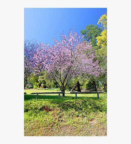 Pink Cherry Blossom Tree Photographic Print