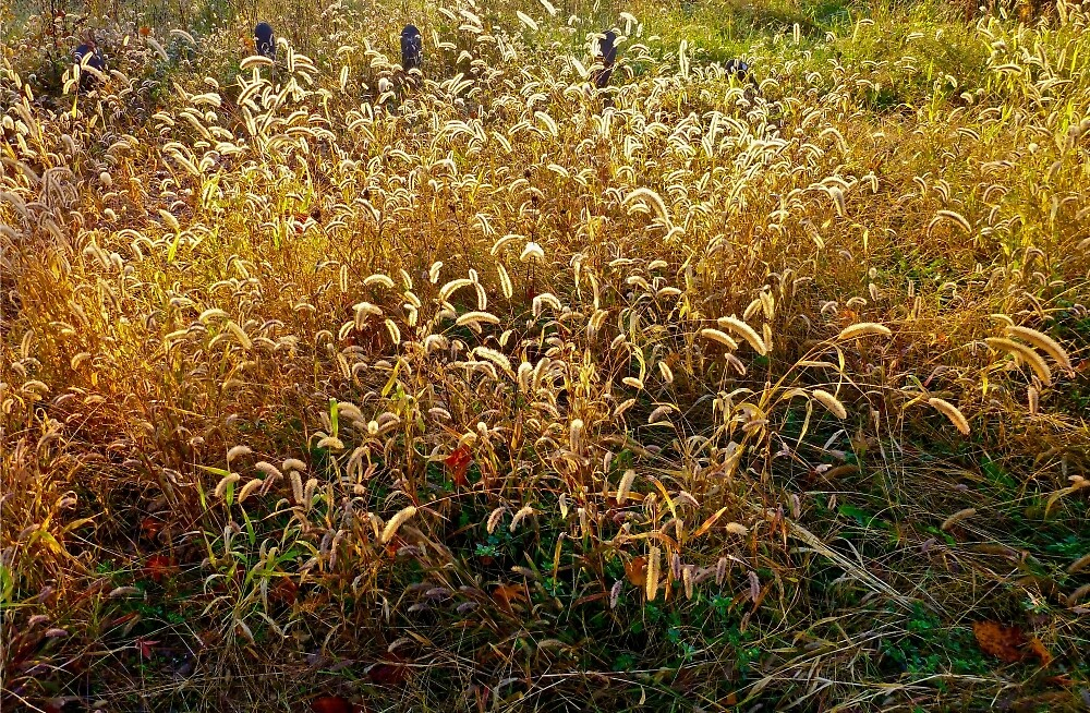Field Grasses by andreajean
