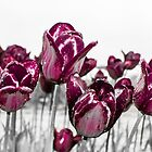 Tulips of Deep Purple by Sadie Roy