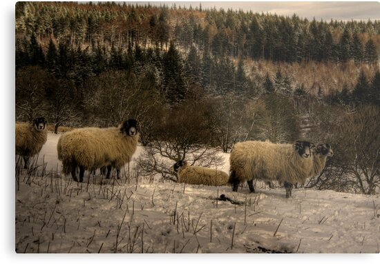 Are Ewe Cold?.... by Dave Warren