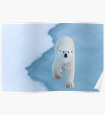 Polar Bear Stare 1 Poster