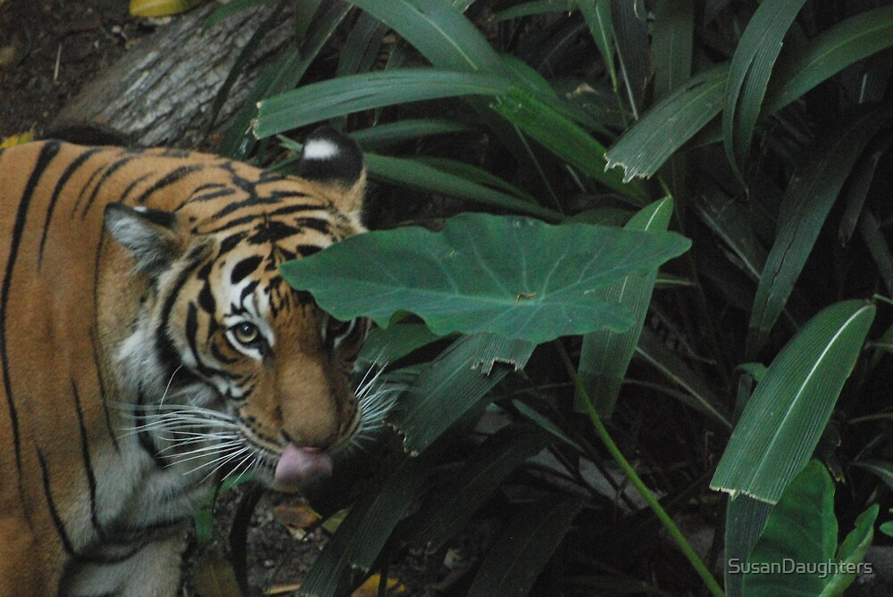 Tiger at San Diego Zoo by SusanDaughters