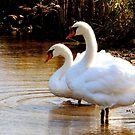 Swan Mates by Rosemary Sobiera