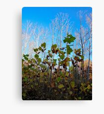 Sycamore Trees Canvas Print