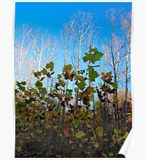 Sycamore Trees Poster