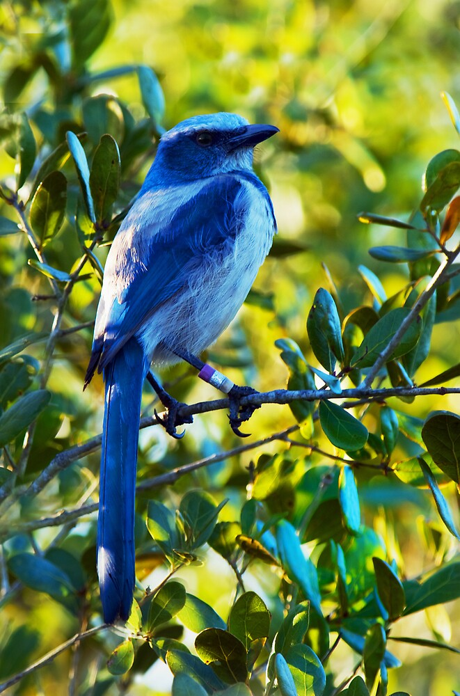 Scrub Jay by Michael Wolf