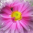 *One Chrysanthemum dressed a little* by EdsMum