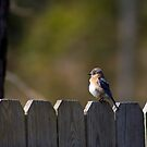 Bluebird by Jonicool