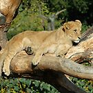 Lion Photo - Taking a Break by Martine Carlsen