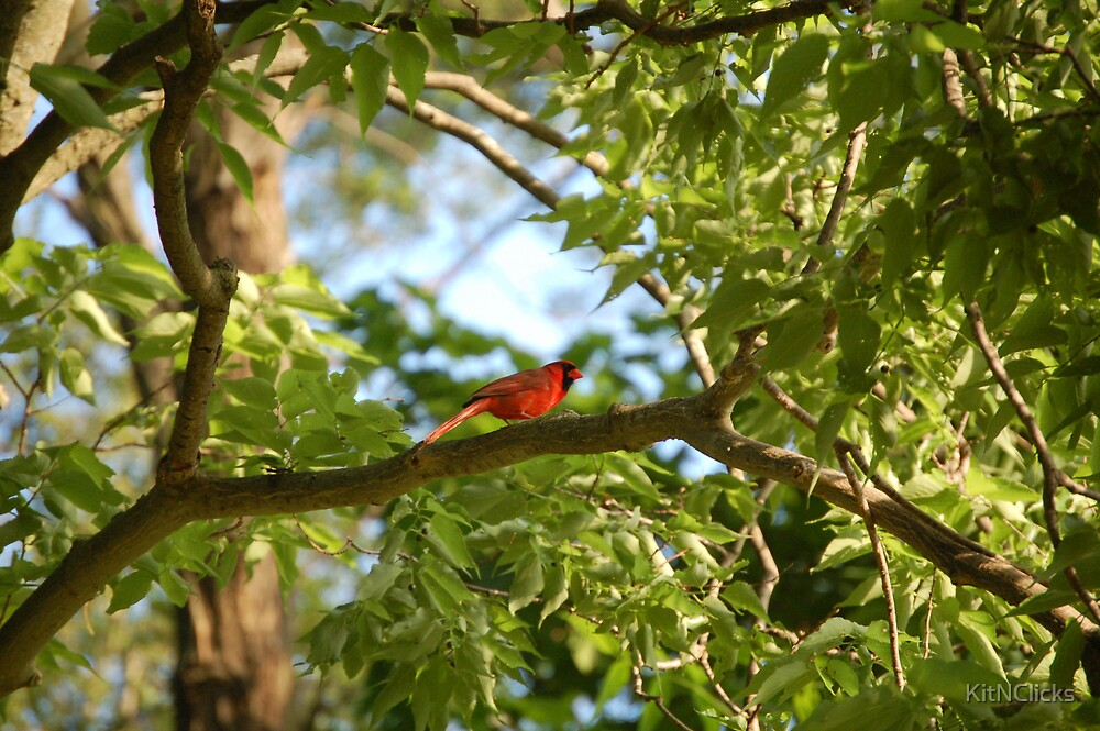 A Cardinal by KitNClicks