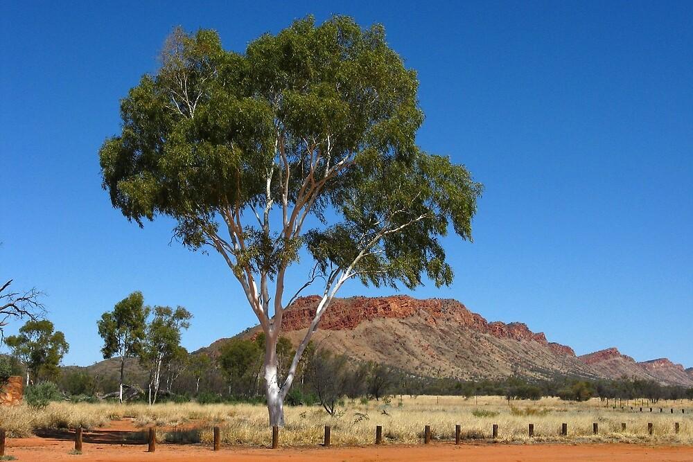 Snow Gum Alice Springs by MalMcC