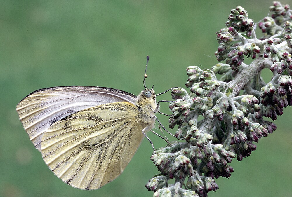 Green Veined White on Budleia by kitlew