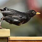 Mum's fledgling blackbird by nadine henley