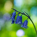 Bluebell  by M.S. Photography/Art