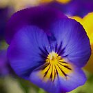 Pansy Flower by M S Photography/Art