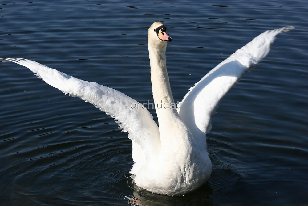 Stretching Swan by orchidcat