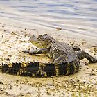 Alligator sunning by Zina Stromberg