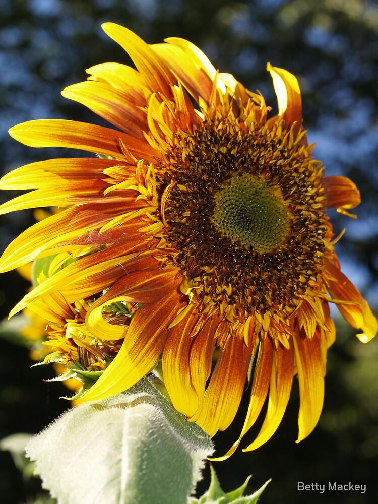 Sunflower by Betty Mackey